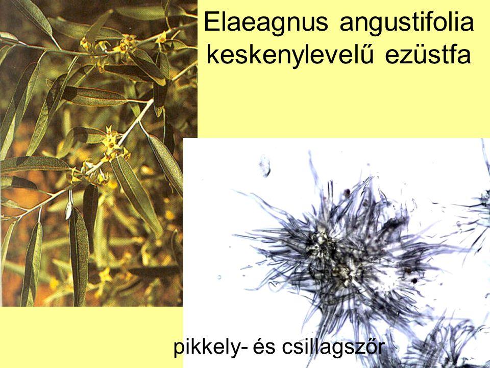 Elaeagnus angustifolia keskenylevelű ezüstfa pikkely- és csillagszőr