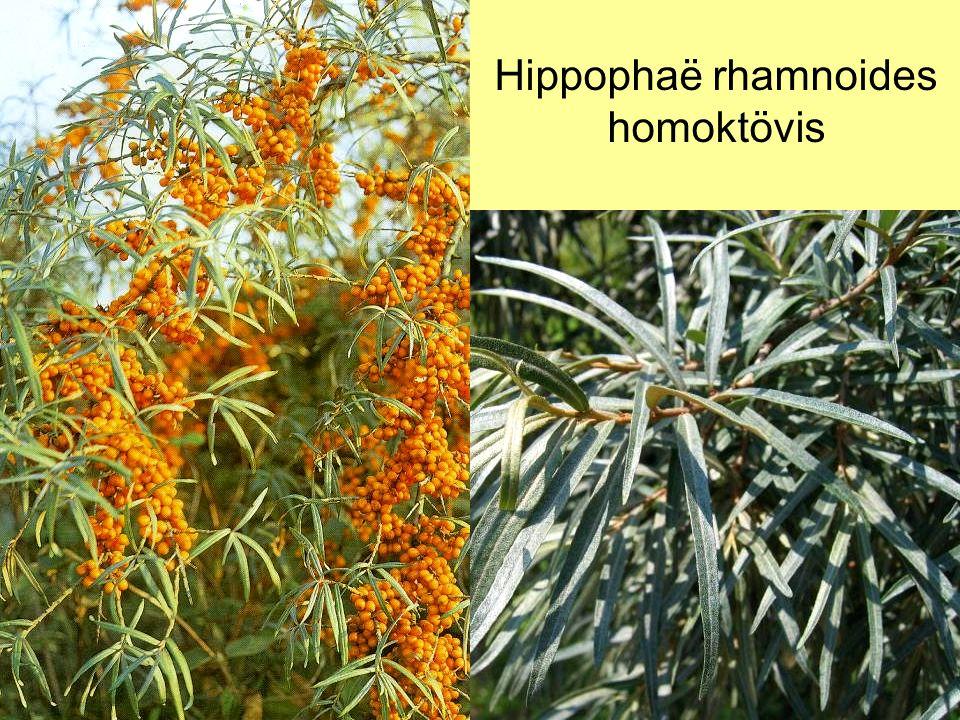 Hippophaë rhamnoides homoktövis
