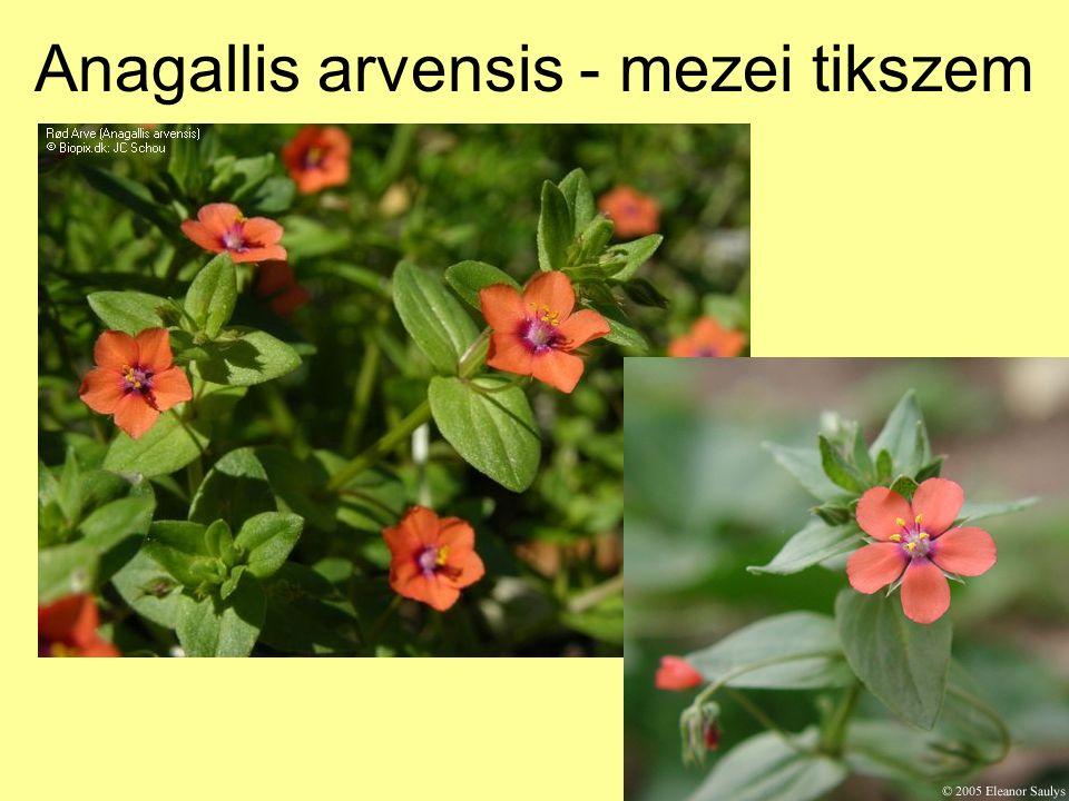Anagallis arvensis - mezei tikszem