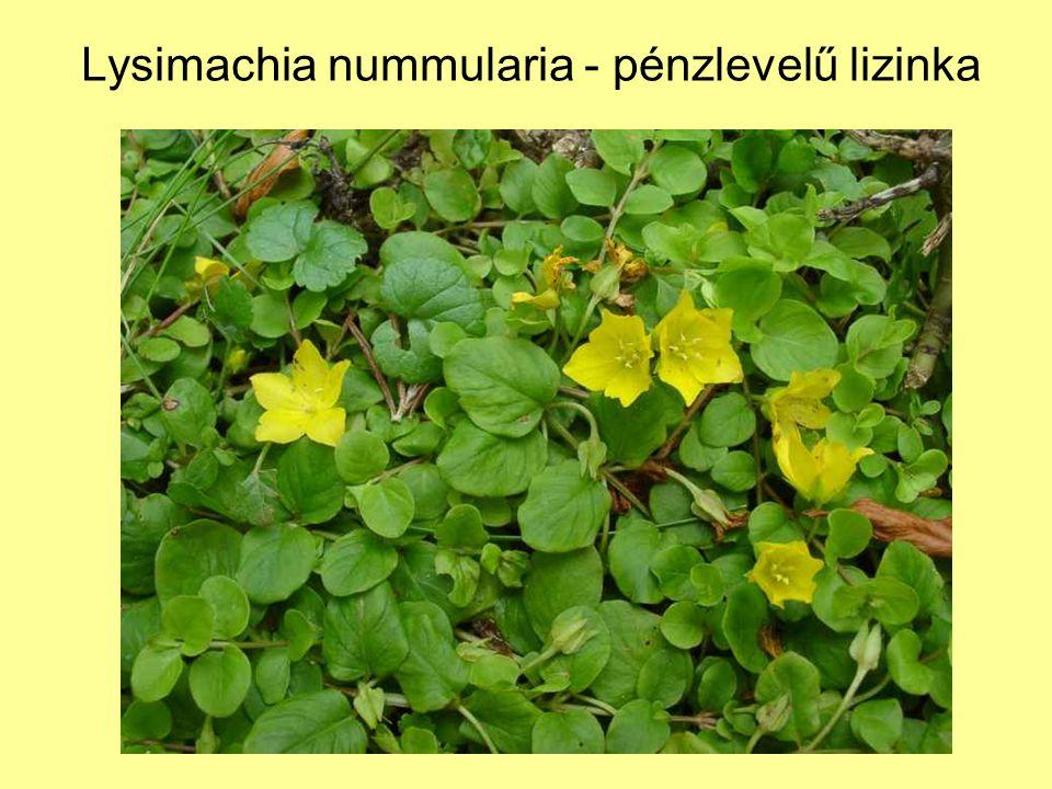 Lysimachia nummularia - pénzlevelű lizinka