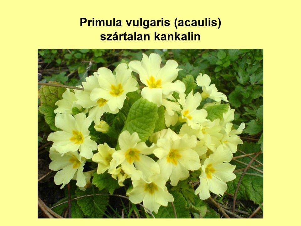 Primula vulgaris (acaulis) szártalan kankalin