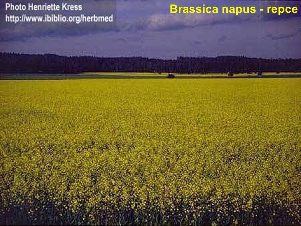 Brassica napus - repce