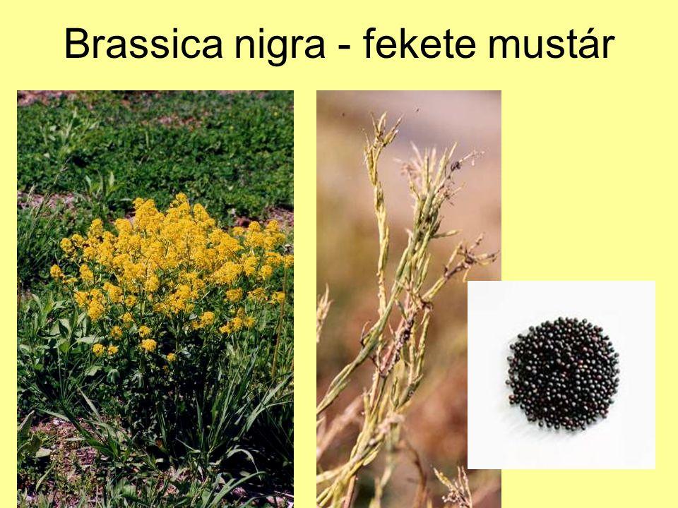 Brassica nigra - fekete mustár