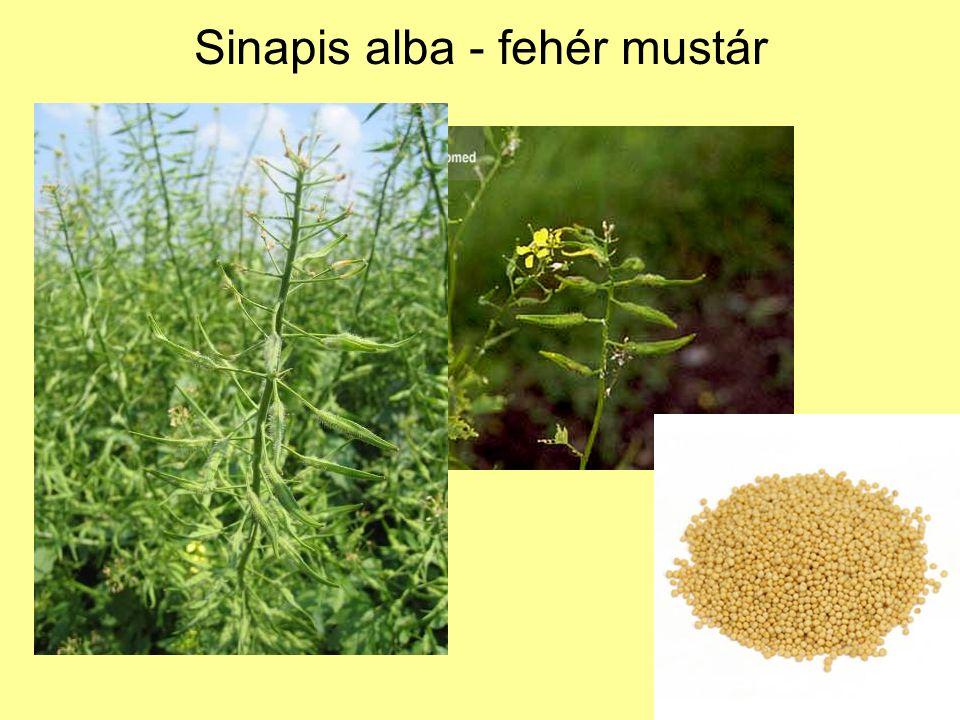 Sinapis alba - fehér mustár