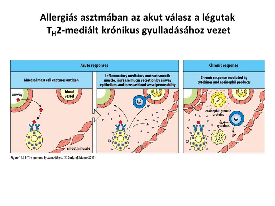 Allergiás asztmában az akut válasz a légutak T H 2-mediált krónikus gyulladásához vezet