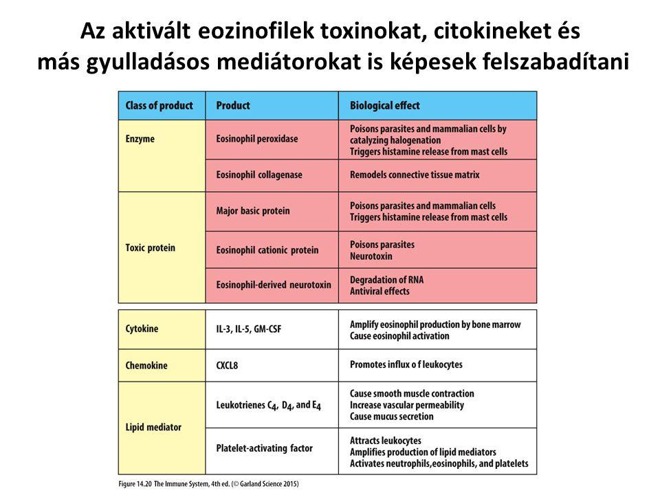 Az aktivált eozinofilek toxinokat, citokineket és más gyulladásos mediátorokat is képesek felszabadítani