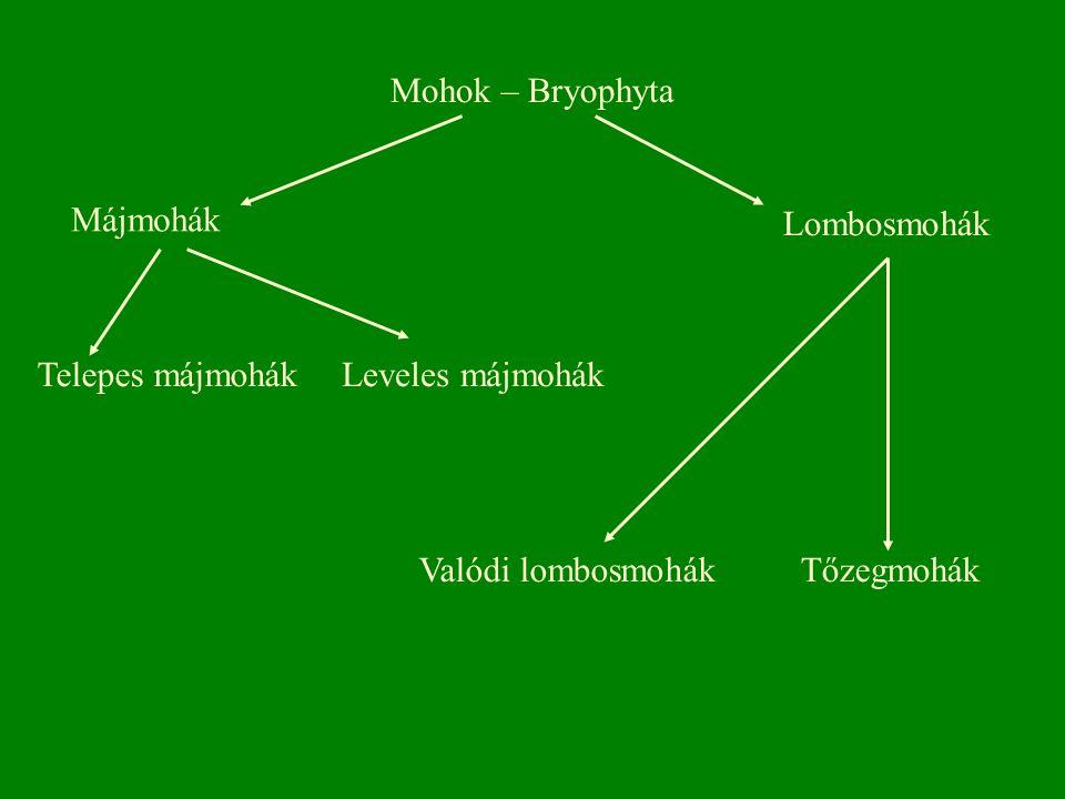 Mohok – Bryophyta Májmohák Lombosmohák Valódi lombosmohákTőzegmohák Leveles májmohákTelepes májmohák