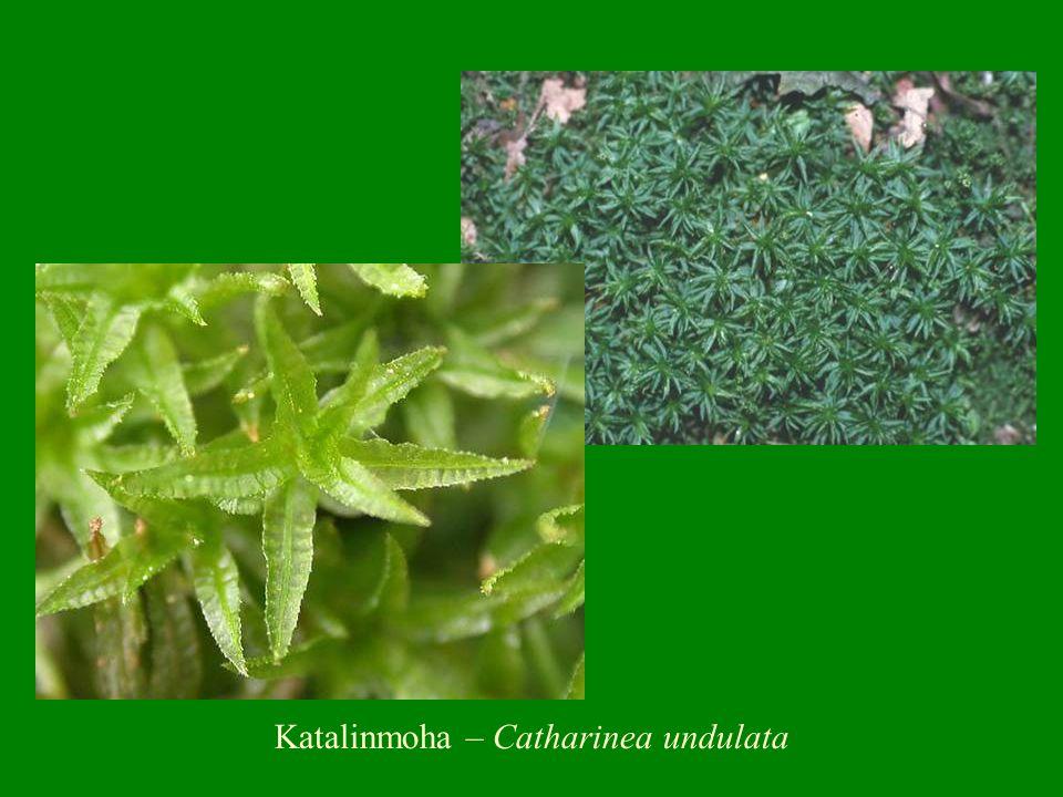 Katalinmoha – Catharinea undulata