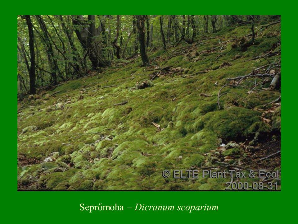 Seprőmoha – Dicranum scoparium
