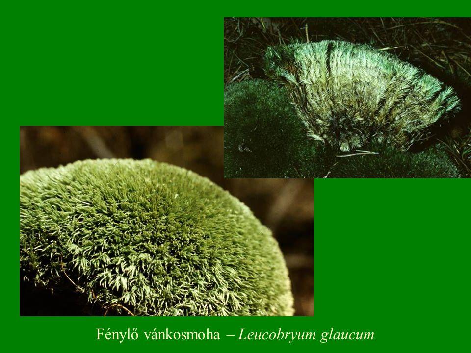 Fénylő vánkosmoha – Leucobryum glaucum
