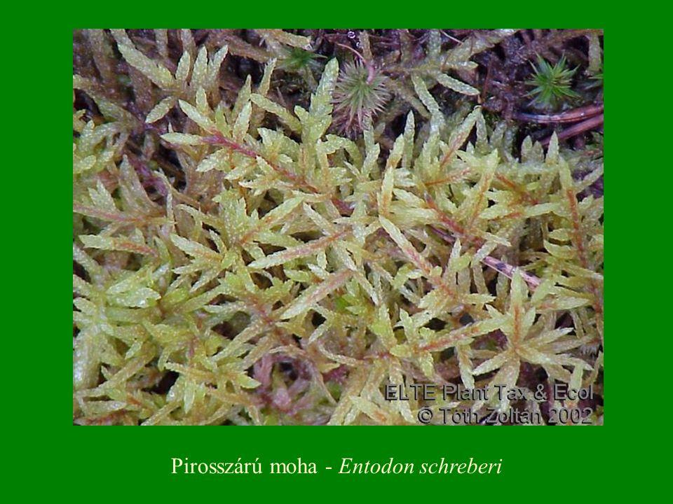 Pirosszárú moha - Entodon schreberi