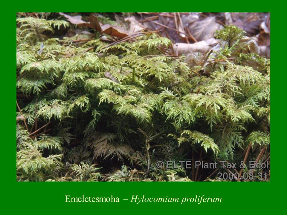 Emeletesmoha – Hylocomium proliferum