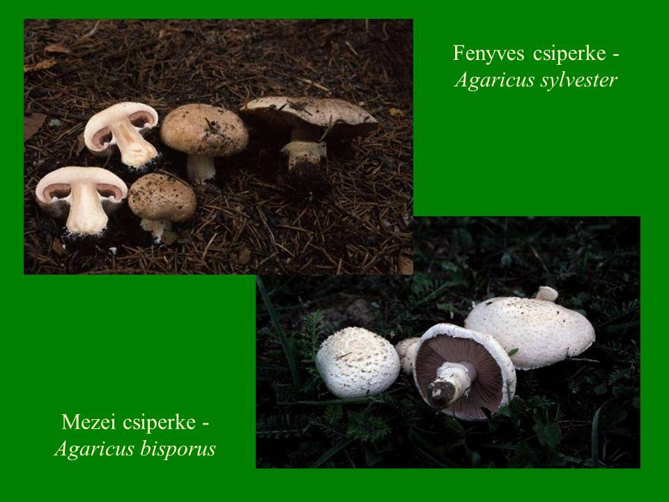 Mezei csiperke - Agaricus bisporus Fenyves csiperke - Agaricus sylvester