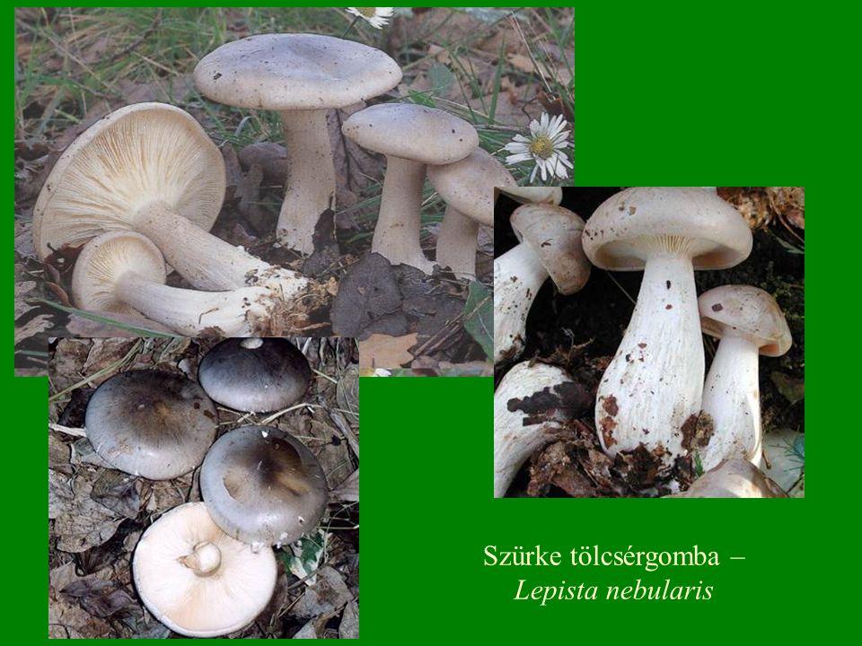 Szürke tölcsérgomba – Lepista nebularis