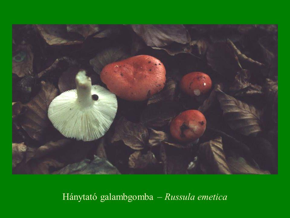 Hánytató galambgomba – Russula emetica