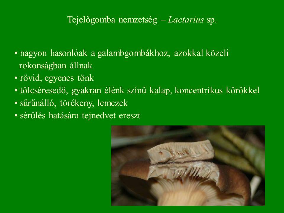 Tejelőgomba nemzetség – Lactarius sp. nagyon hasonlóak a galambgombákhoz, azokkal közeli rokonságban állnak rövid, egyenes tönk tölcséresedő, gyakran