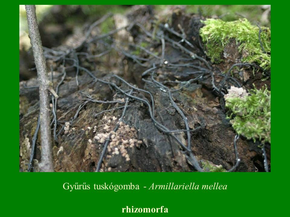 rhizomorfa