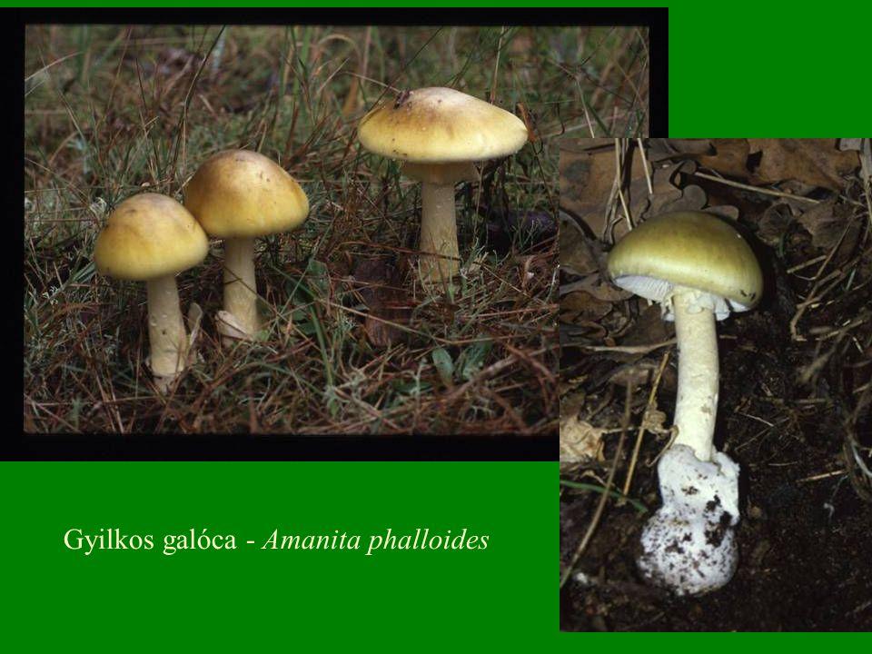 Harkály-tintagomba – Coprinus micaceus