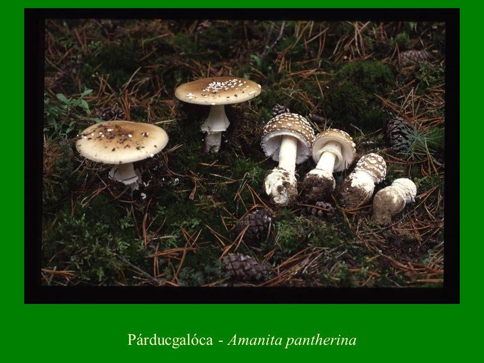 Piruló őzláb(gomba) - Macrolepiota rhacodes