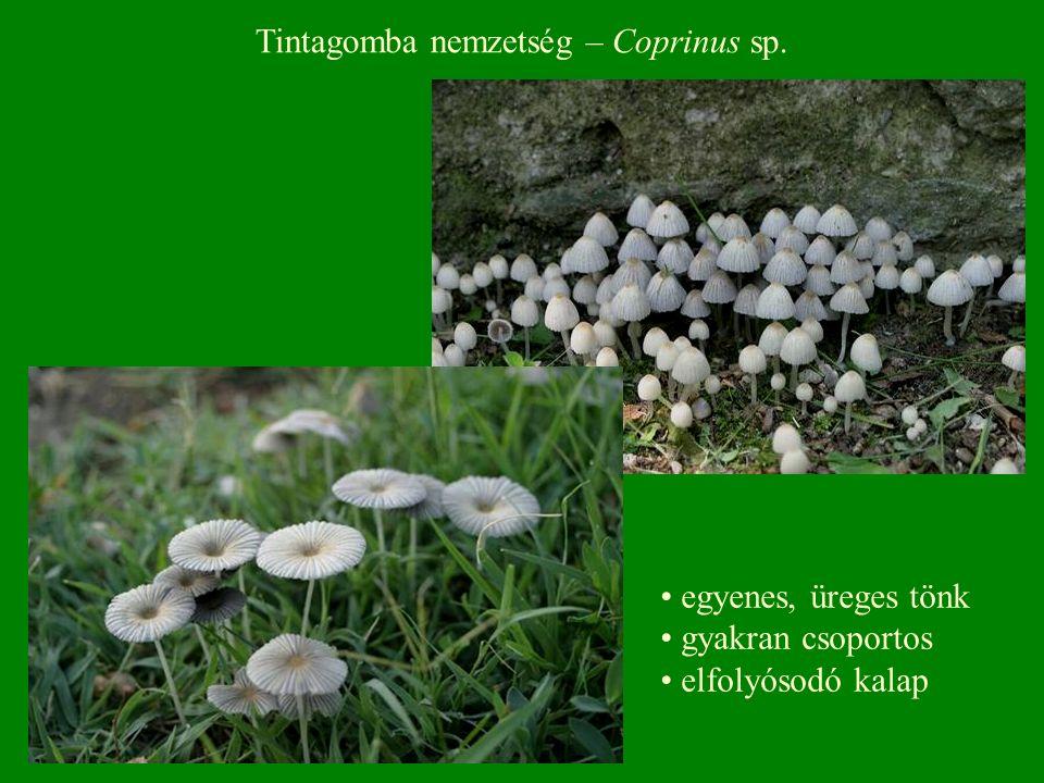 Tintagomba nemzetség – Coprinus sp. egyenes, üreges tönk gyakran csoportos elfolyósodó kalap