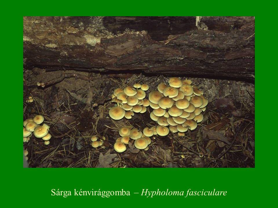 Sárga kénvirággomba – Hypholoma fasciculare