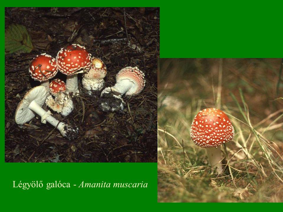 Vörhenyes őzláb(gomba) - Lepiota helveola