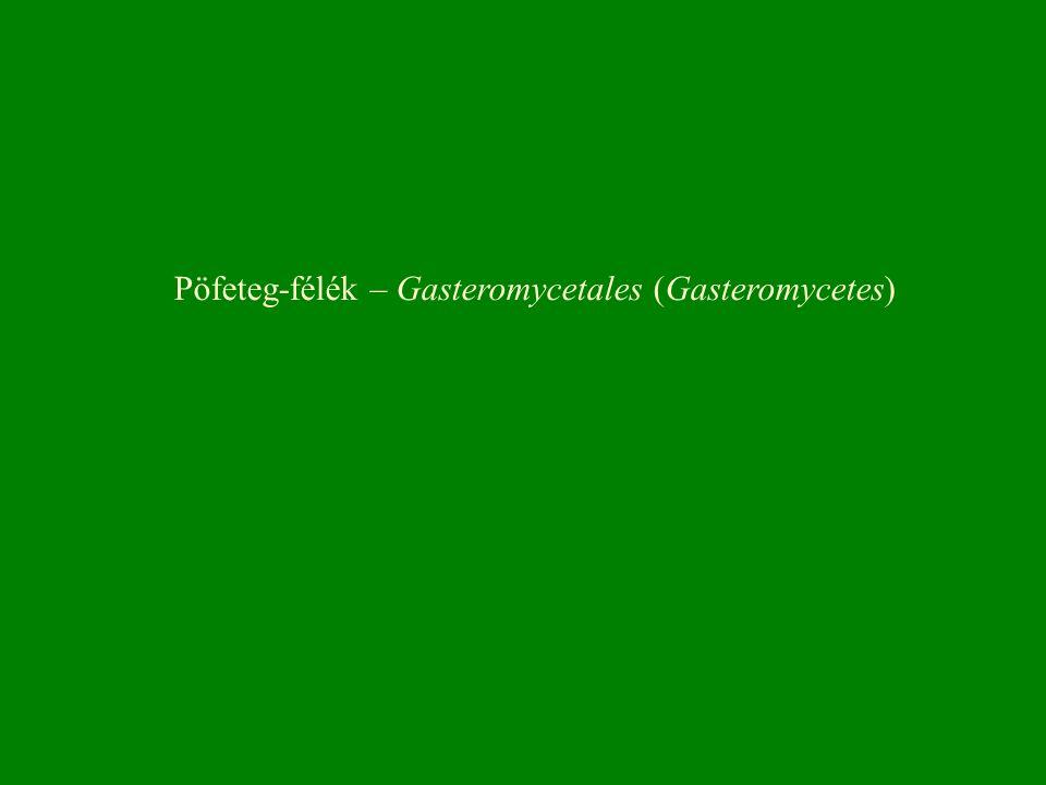 Pöfeteg-félék – Gasteromycetales (Gasteromycetes)