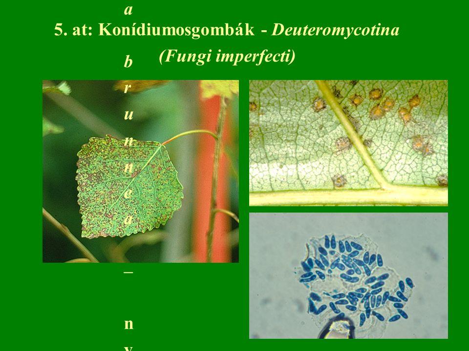5. at: Konídiumosgombák - Deuteromycotina (Fungi imperfecti) Marssonina brunnea – nyár levélfoltosságaMarssonina brunnea – nyár levélfoltossága