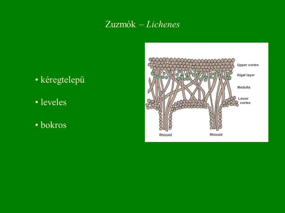 Zuzmók – Lichenes kéregtelepű leveles bokros