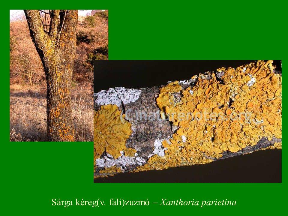 Sárga kéreg(v. fali)zuzmó – Xanthoria parietina