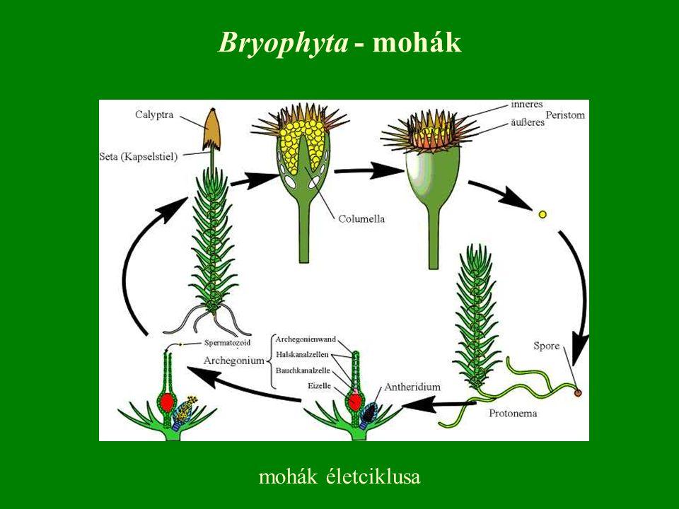 mohák életciklusa Bryophyta - mohák
