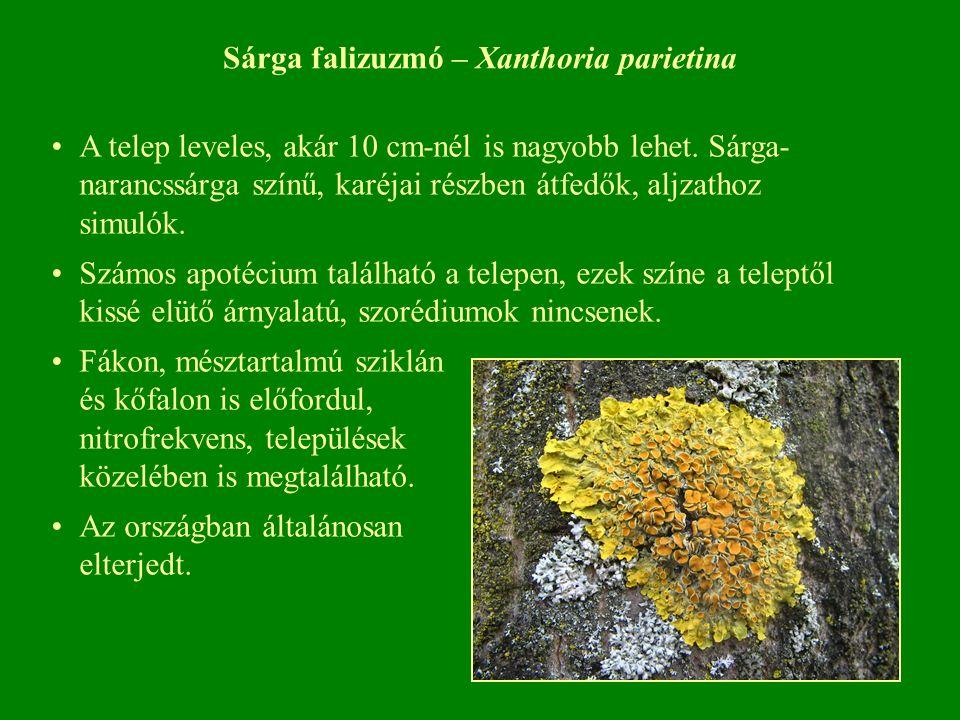 Sárga falizuzmó – Xanthoria parietina A telep leveles, akár 10 cm-nél is nagyobb lehet.