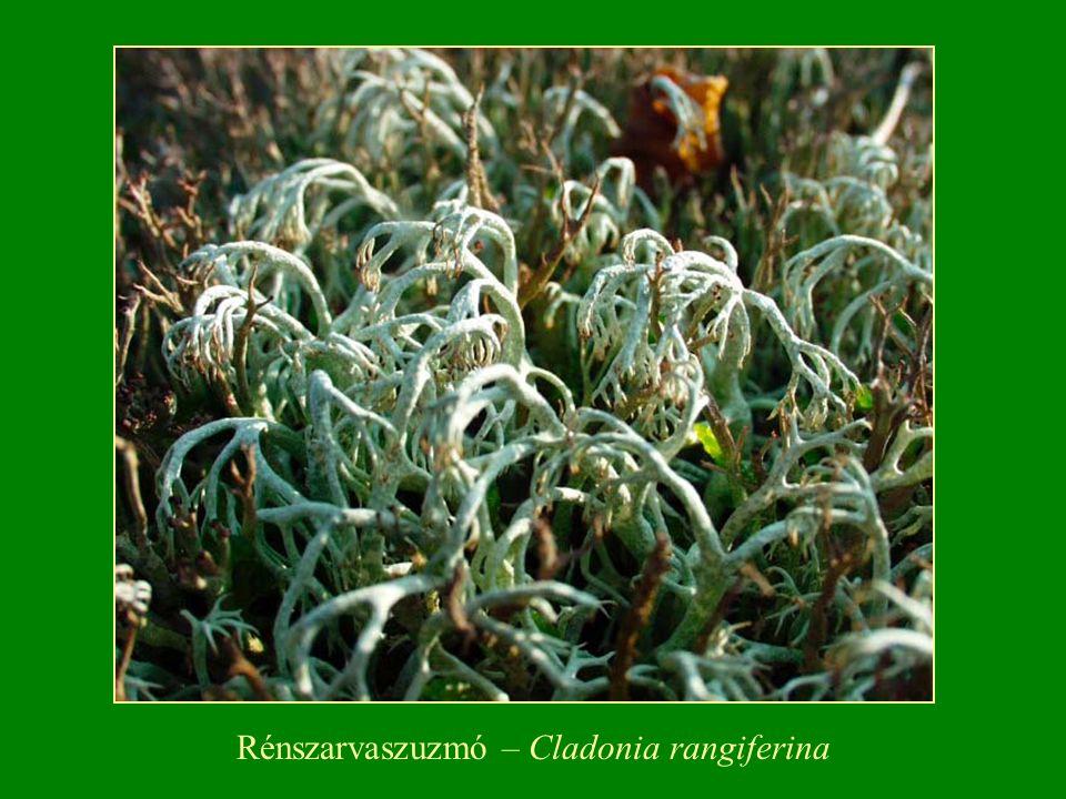 Rénszarvaszuzmó – Cladonia rangiferina