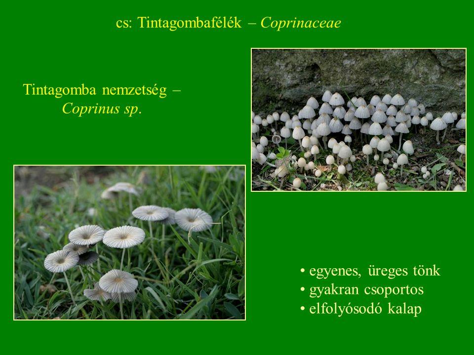 Tintagomba nemzetség – Coprinus sp.
