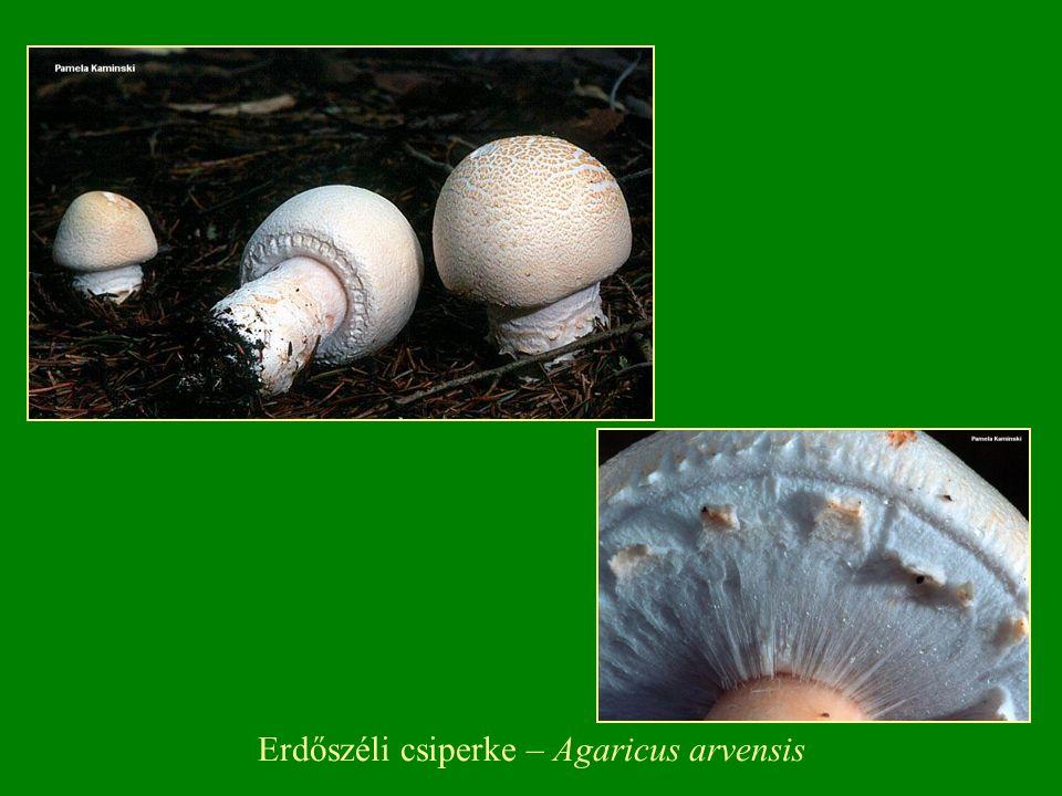 Lila pereszke – Lepista nuda (Tricholoma nudum) cs: Pereszkefélék – Tricholomataceae
