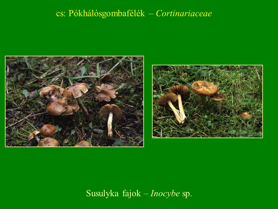 Susulyka fajok – Inocybe sp. cs: Pókhálósgombafélék – Cortinariaceae