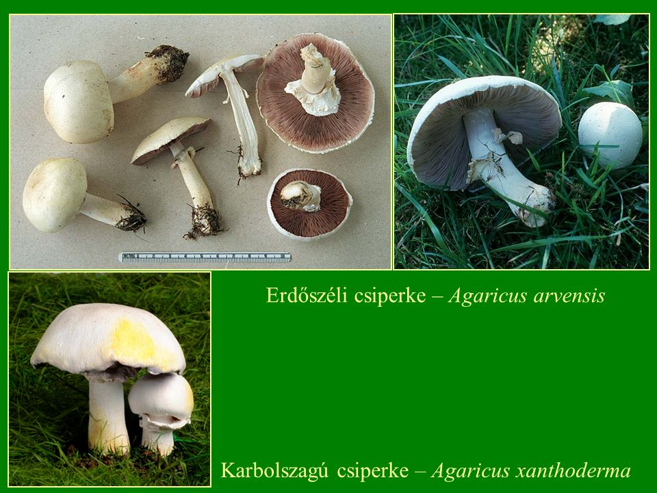 Karbolszagú csiperke – Agaricus xanthoderma