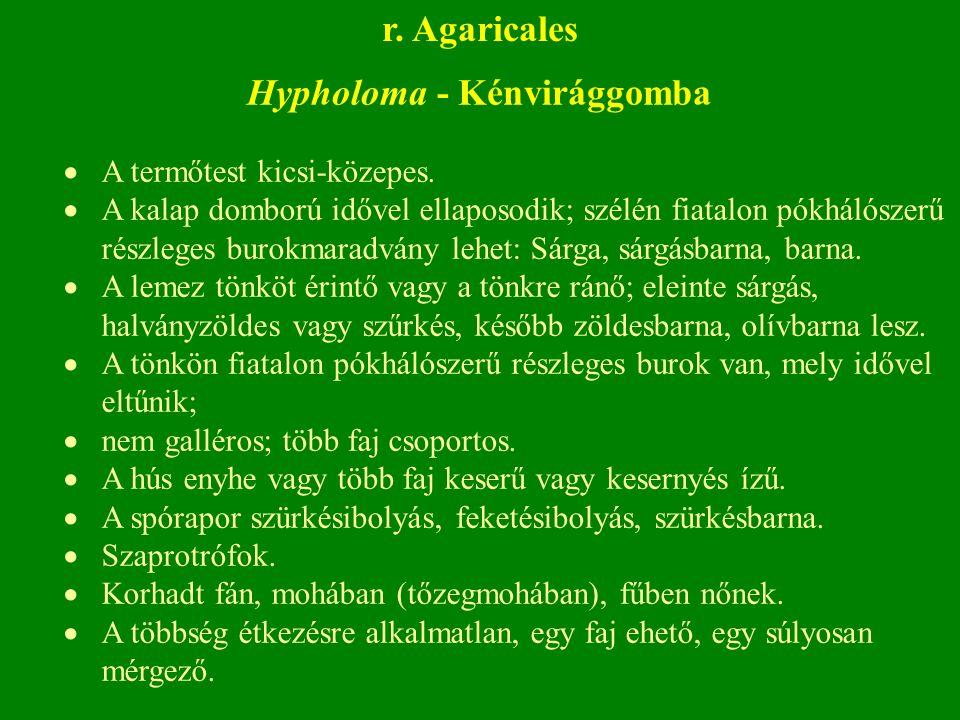 Hypholoma - Kénvirággomba  A termőtest kicsi-közepes.