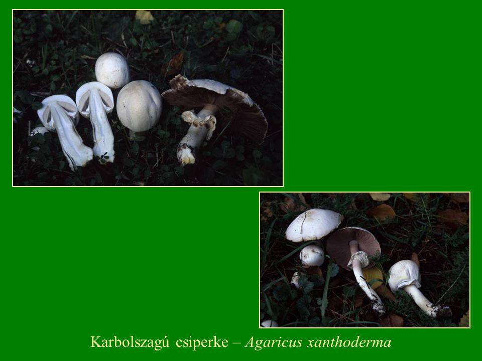 Lactarius - Tejelőgomba  A termőtest kicsi-nagy termetű.