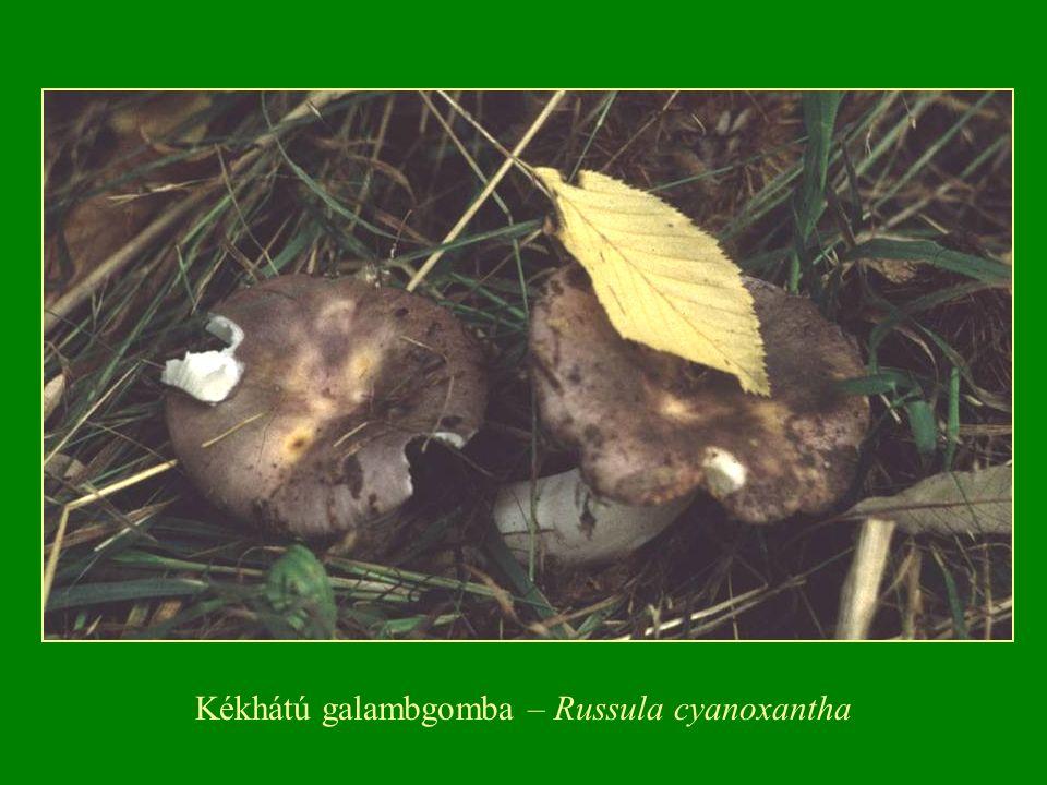 Kékhátú galambgomba – Russula cyanoxantha