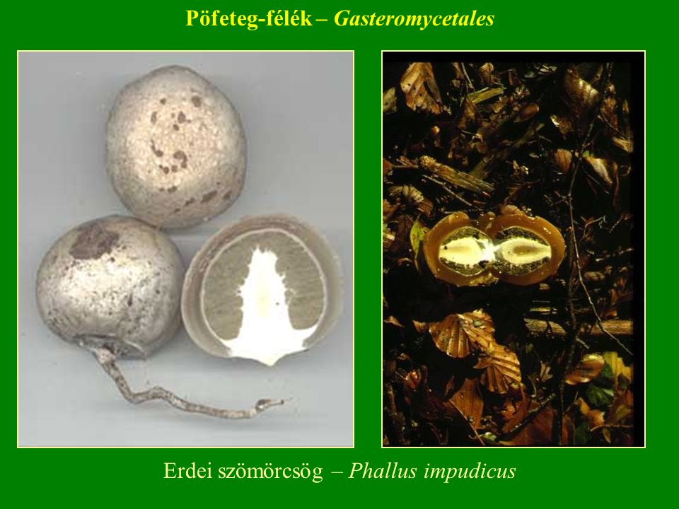 Erdei szömörcsög – Phallus impudicus Pöfeteg-félék – Gasteromycetales