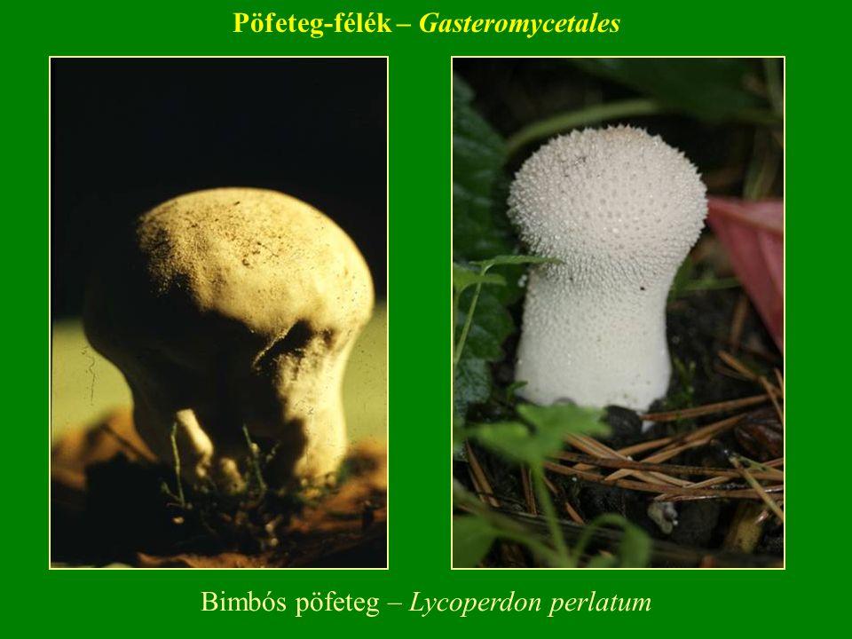 Bimbós pöfeteg – Lycoperdon perlatum Pöfeteg-félék – Gasteromycetales