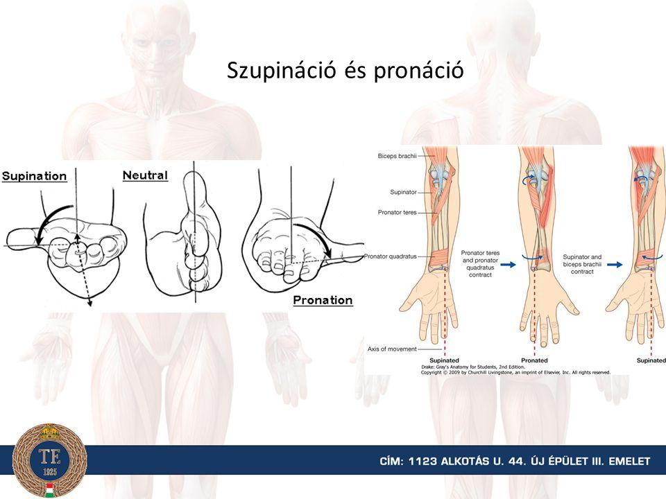Izmok brachioradialis brachialis