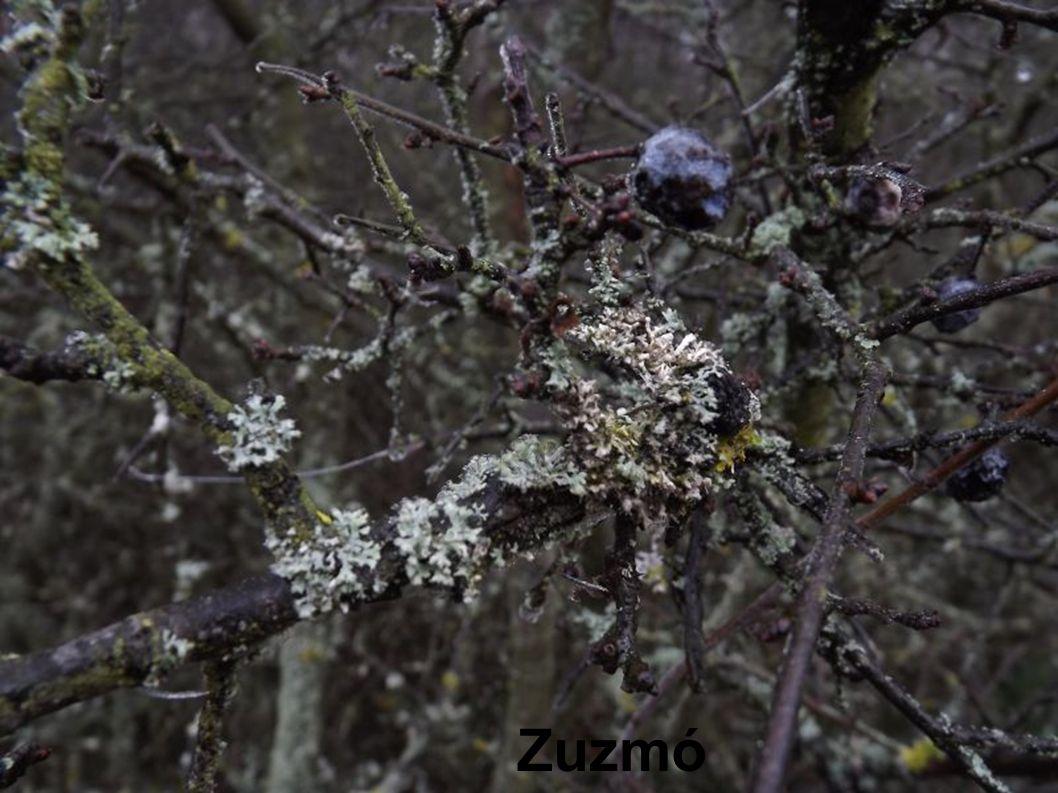 Zuzmó