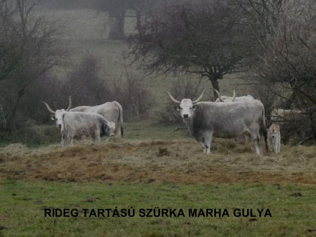 RIDEG TARTÁSÚ SZÜRKA MARHA GULYA