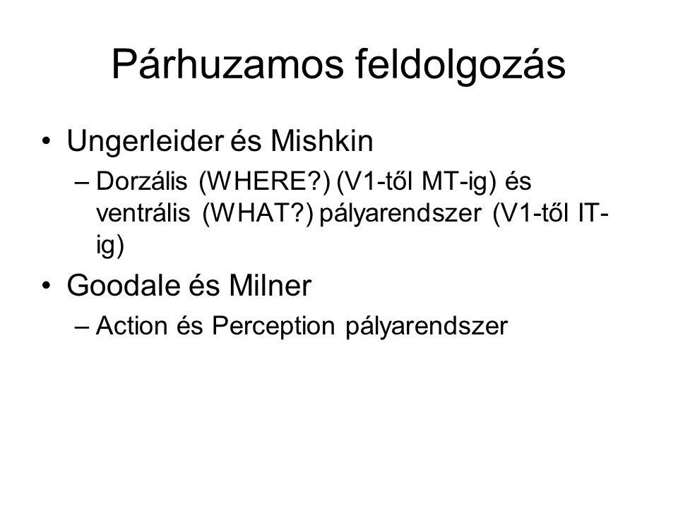 Párhuzamos feldolgozás Ungerleider és Mishkin –Dorzális (WHERE ) (V1-től MT-ig) és ventrális (WHAT ) pályarendszer (V1-től IT- ig) Goodale és Milner –Action és Perception pályarendszer