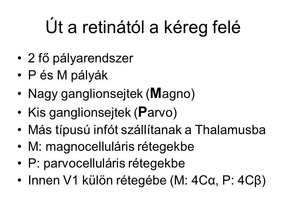 Út a retinától a kéreg felé 2 fő pályarendszer P és M pályák Nagy ganglionsejtek ( M agno) Kis ganglionsejtek ( P arvo) Más típusú infót szállítanak a Thalamusba M: magnocelluláris rétegekbe P: parvocelluláris rétegekbe Innen V1 külön rétegébe (M: 4Cα, P: 4Cβ)