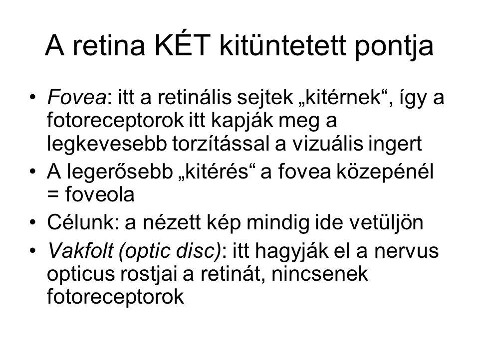 """A retina KÉT kitüntetett pontja Fovea: itt a retinális sejtek """"kitérnek , így a fotoreceptorok itt kapják meg a legkevesebb torzítással a vizuális ingert A legerősebb """"kitérés a fovea közepénél = foveola Célunk: a nézett kép mindig ide vetüljön Vakfolt (optic disc): itt hagyják el a nervus opticus rostjai a retinát, nincsenek fotoreceptorok"""
