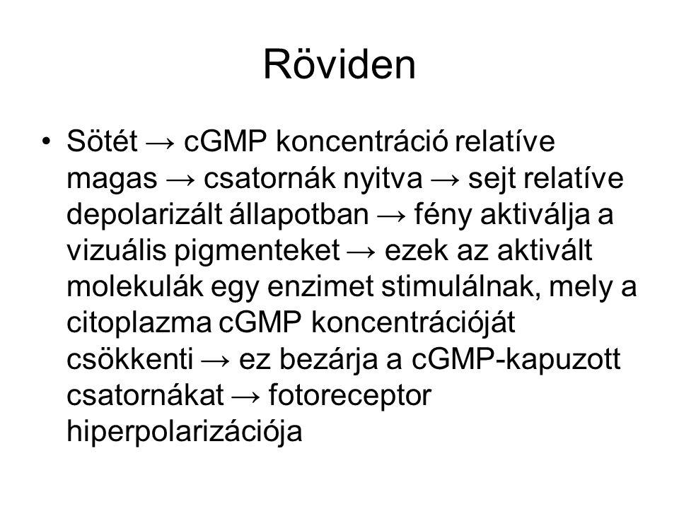 Röviden Sötét → cGMP koncentráció relatíve magas → csatornák nyitva → sejt relatíve depolarizált állapotban → fény aktiválja a vizuális pigmenteket → ezek az aktivált molekulák egy enzimet stimulálnak, mely a citoplazma cGMP koncentrációját csökkenti → ez bezárja a cGMP-kapuzott csatornákat → fotoreceptor hiperpolarizációja
