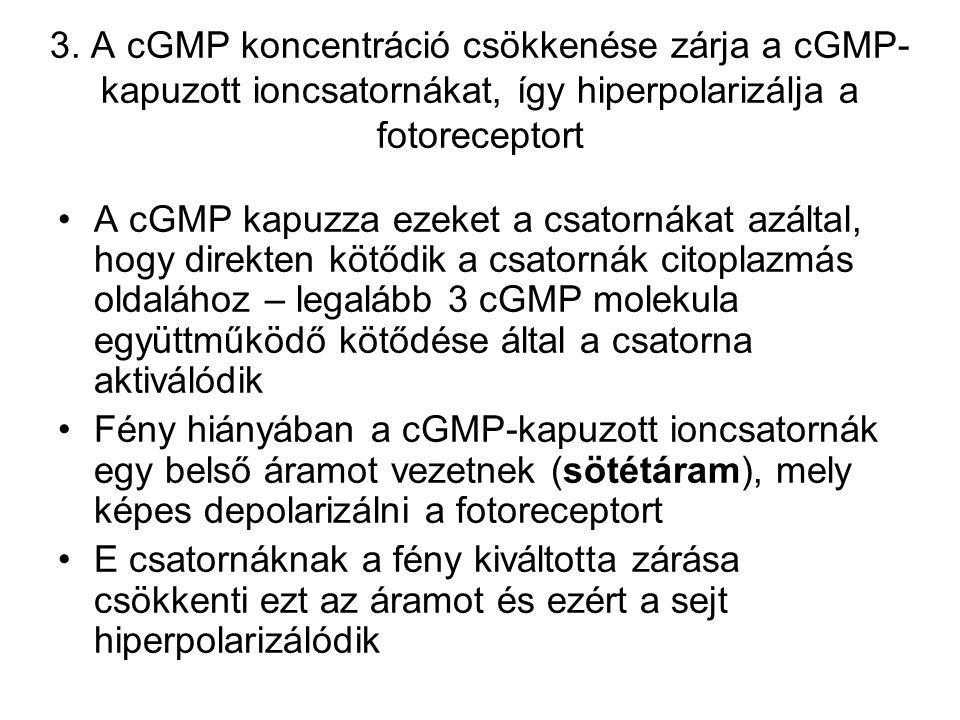 3. A cGMP koncentráció csökkenése zárja a cGMP- kapuzott ioncsatornákat, így hiperpolarizálja a fotoreceptort A cGMP kapuzza ezeket a csatornákat azál